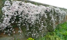 This clematis is covering walls with flowers at Croft Castle. Sent in by facebook 11 May