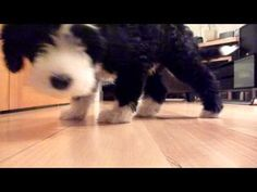 Cute video of Penny as a pup following the trail of treats