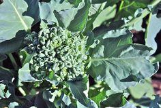 piracicaba broccoli