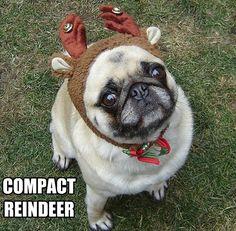 funny pugs, funni pug, pug dogs, dog memes
