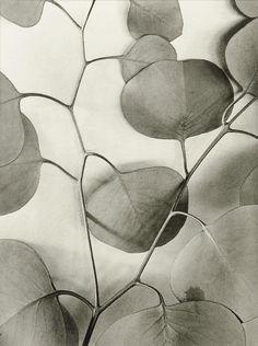 Alma Lavenson | Eucalyptus Leaves, 1933