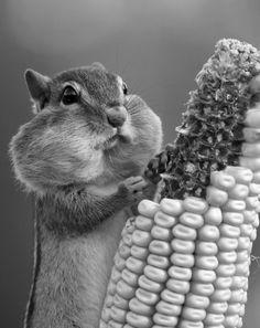 chubby cheeks : ) chips, sweet cheeks, meals, funni, chubbi cheek, chipmunks, mouths, squirrel, chubby cheeks