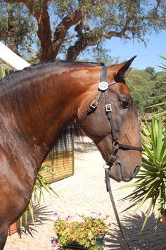 Bay Lusitano stallion Toxico in Portugal