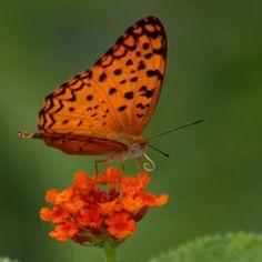 . butterfli, orange you glad, leopard phalanta, color, common leopard, leopards, papillon, insect, flower