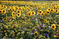 In 2009 twenty acres of grassland were transformed by an explosion of summer blooms in Britain's biggest and brightest wildflower meadow just yards from the fumes of the nations busiest motorways.