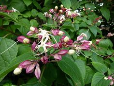 Clerodendrum trichot