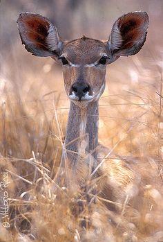 Greater Kudu (Tragelaphus strepsiceros) / Antelope, South Africa... °