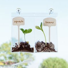 a fun way to watch plants grow- Real Beanie Babies~