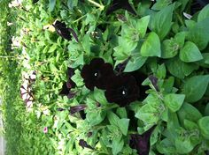 Love black flowers - Petunia Midnight Cowboy