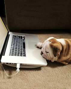 So this is what keeps him so busy ;) #dogs #pets #animals #dog #english #bulldogs #bulldog #laptop