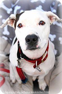 Adoptable Dog: Pippy - Pit Bull Terrier Mix (Phoenix, AZ) #dog #rescue #adoption #pets #animals