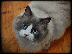 Edward, blue eyed ragdoll type cat
