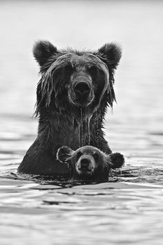 swim lessons, mother, big bear, bear cubs, baby bears, swimming, grizzly bears, animal, bath time