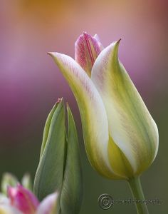 ~~Spring Tulips by craig strand photography~~