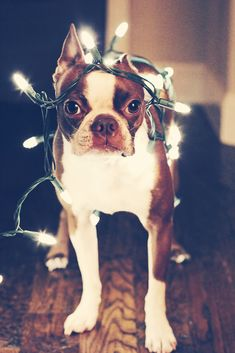 I do love photos of people and animals tangled in Christmas lights, but this is a new level of adorable.