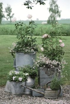 rose, white flowers, metal, bucket, watering cans, planter, old tins, flowers garden, container gardening