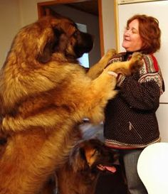 dogs a leonberger big furry biggest dogs big galumph dogs breeds ...