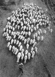 1991, goat, art, black white, counting sheep, flock, geometry, bulgaria, photographi