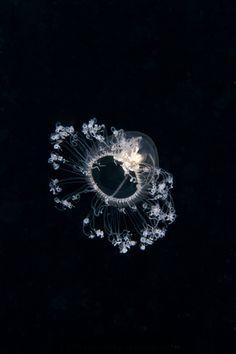 "Jellyfish ""Oceania armata"". Only 5mm wide. By Milonakis Kostas"