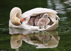 A mother swan nests her babies inside her wings.