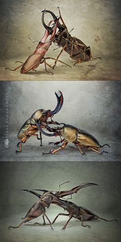 battling beetles