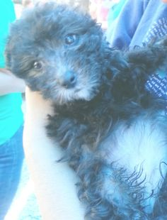 Black poodle puppy ... Dog training portal... not just for #poodles http://dogtrainingvideos...