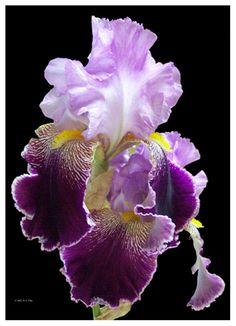 Purple Iris - love these!