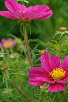 Pink Cosmos Flowers - Far Out Cosmic Pink by Live Mulch #cosmos #pink cosmos
