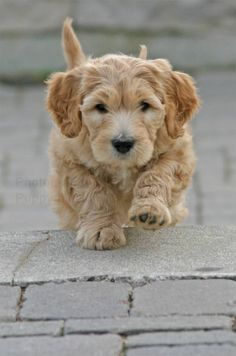 goldendoodle puppy - it looks like a puppy and an oldie at the same time!