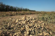 South Georgia ... Peanuts!