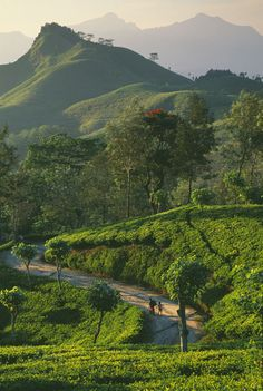 tea plantation in Sri Lanka!! jst click and get the good price to fly there