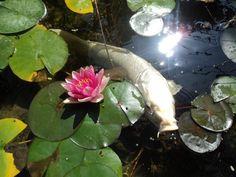 koi pond, koi fish, white koi, beauti koi