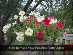 Petunias Looking Leggy? Do This to Make Them Beautiful Again »