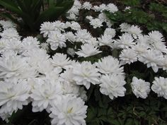 "Double Bloodroot in full bloom in my woodland garden.  One plant can be expensive but it multiplies rapidly.  A ""must have"" for every garden."