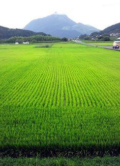 Yufuin rice fields,  #oita #Japan
