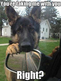 """""""You're taking me with you... Right?"""" ~ Dog Shaming shame - German Shepherd - - Can you imagine if all dogs could do this??"""
