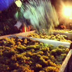 Bringing in our Chardonnay during night harvest!