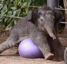 Cute baby elephant squishing a purple exercise ball. - http://animalfunnymemes.com/cute-baby-elephant-squishing-a-purple-exercise-ball/