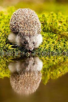 Hedgehog by Robert Adamec  For you, Sheila Felton