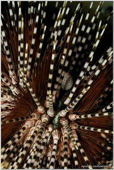 **Sea Urchin--Thailand