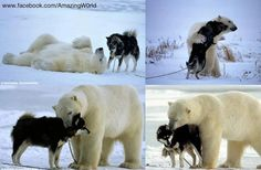 Some Amazing Facts  Polar Bear makes a friend ;)  Credits: Amazing World..    Near Hudson Lake in Manitoba, German wildlife photographer Norbert Rosing spotted a polar bear coming near his sled dogs. He took pictures of what he thought would be the end of his dogs.    Apparently the bear came back every night for a week to play with the dogs.    Photographer: Norbert Rosing –