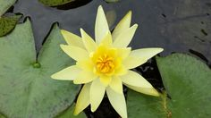 A tropical water lilly just opened and adding a welcome splash of colour to the pond.