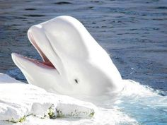PetsLady's Pick: Cute Beluga Whale Of The Day  ... see more at PetsLady.com ... The FUN site for Animal Lovers