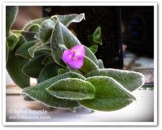 """Our Little Acre: """"Hairy Spiderwort - A 2011 GWA Treasure!"""""""