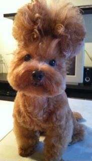 Puppy Grooming to the extreme.  Gotta love this hairdo!