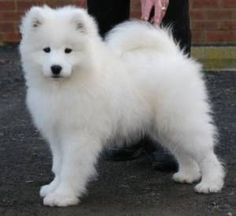 My dream pup - A Samusky dog. it is a mix between a Siberian Husky and a Samoyed