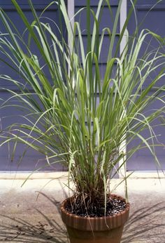 Lemon Grass & 25 other Mosquito Repellent Plants