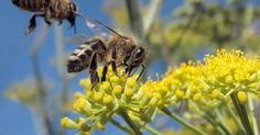 Towns self-identifying as pollinator friendly in an effort to help advance the cause of bee conservation. It might even help the economy.