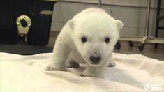 polar bear cubs | polar-bear-cub-attempts-first-steps-at-toronto-zoo.jpg