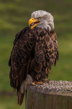 Bald eagle by SylvieS on 500px